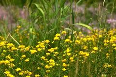 Fiori gialli minuscoli nel campo Fotografie Stock Libere da Diritti