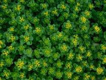 Fiori gialli molto piccoli fotografie stock libere da diritti