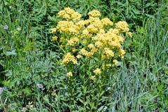 Fiori gialli nel campo durante il giorno fotografie stock libere da diritti