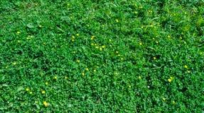 Fiori gialli nel fondo dell'erba verde Immagine Stock