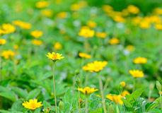 Fiori gialli nel fondo della sfuocatura e del giardino Immagine Stock Libera da Diritti