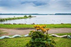Fiori gialli nel lago Valdai Fotografie Stock Libere da Diritti