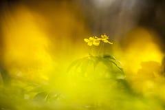 Fiori gialli nel legno Fotografia Stock