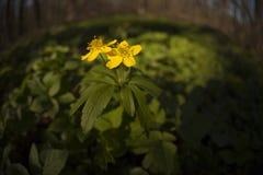 Fiori gialli nel legno Immagine Stock