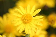 Fiori gialli nel parco Fotografia Stock