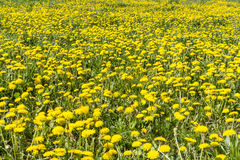 Fiori gialli nel prato Immagine Stock