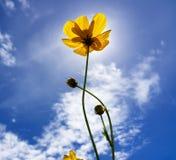 Fiori gialli nell'ambito di luce solare nel fondo del cielo Fotografia Stock