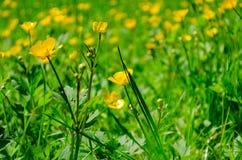 Fiori gialli nella fine dell'erba verde su Immagine Stock