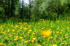 Fiori gialli nella fine dell'erba verde su Fotografie Stock
