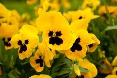 fiori gialli Nero-osservati Fotografie Stock Libere da Diritti