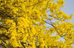 Fiori gialli in piena fioritura Fotografia Stock