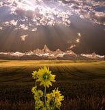 Fiori gialli prima di bello tramonto Immagine Stock