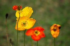 Fiori gialli rossi del papavero Immagini Stock Libere da Diritti