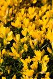 Fiori gialli selvaggi fotografia stock libera da diritti