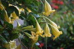 Fiori gialli selvaggi dell'albero, Varadero, Cuba immagini stock
