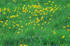 Fiori gialli selvaggi della molla Fotografia Stock