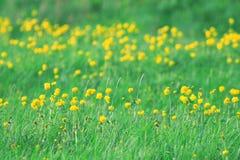 Fiori gialli selvaggi della molla Immagine Stock Libera da Diritti