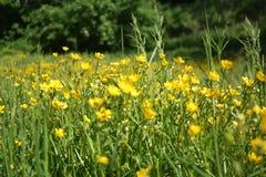Fiori gialli su una radura verde Fotografie Stock Libere da Diritti