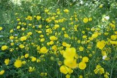 Fiori gialli su una radura verde Fotografia Stock