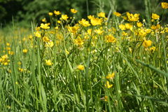 Fiori gialli su una radura verde fotografia stock libera da diritti