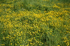 Fiori gialli su una radura verde fotografie stock