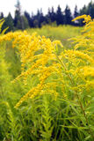 Fiori gialli su una radura verde immagine stock libera da diritti