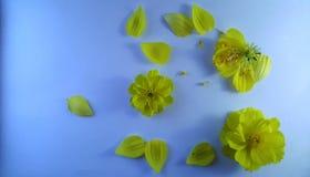 Fiori gialli sui precedenti strutturati bianchi fotografia stock