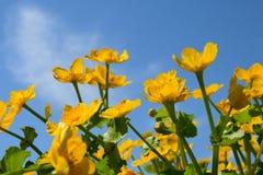 Fiori gialli sulla priorità bassa del cielo blu Fotografie Stock