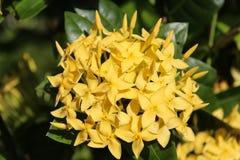 Fiori gialli tropicali Immagine Stock Libera da Diritti