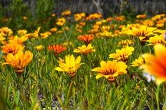 Fiori giallo arancione in erba Immagini Stock Libere da Diritti