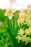 Fiori giallo-chiaro del narciso e del giacinto nel giardino Fotografia Stock
