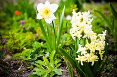 Fiori giallo-chiaro del narciso e del giacinto nel giardino Immagine Stock Libera da Diritti