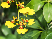 Fiori giallo-chiaro dell'orchidea Fotografia Stock