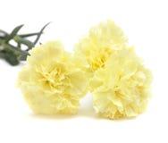Fiori giallo pallidi del garofano isolati Fotografia Stock