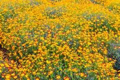fiori Giallo-rossi della margherita, fondo del giardino floreale di estate Fotografia Stock