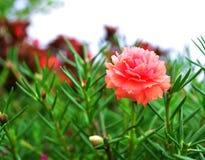 Fiori grandiflora di Portulaca Fotografia Stock Libera da Diritti