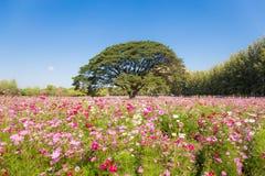 Fiori graziosi dell'universo e grande albero nel giardino Fotografie Stock