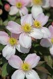 Fiori graziosi della clematide di primavera Fotografia Stock