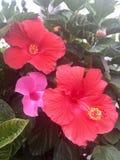 Fiori hawaiani rosa Fotografia Stock Libera da Diritti