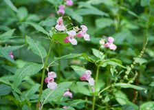 Fiori himalayani di glandulifera di impatiens del balsamo, Russia Specie di August Invasive Immagine Stock