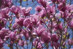 Fiori ibridi della magnolia della galassia fotografia stock libera da diritti