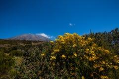 Fiori, Kilimanjaro Fotografia Stock Libera da Diritti