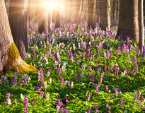 fiori in la foresta di primavera Immagine Stock Libera da Diritti
