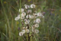 Fiori lanuginosi bianchi Fotografie Stock