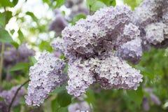 Fiori lilla Immagine Stock