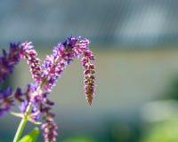 Fiori lilla fotografia stock