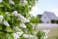 Fiori lilla bianchi con una casa della famiglia nei precedenti immagini stock libere da diritti
