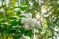 Fiori lilla bianchi, fondo della molla Fotografia Stock Libera da Diritti