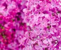 Fiori lilla con il bokeh lilla della filiale Immagine Stock