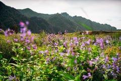 Fiori lilla con le montagne di Altai nel fondo Fotografie Stock